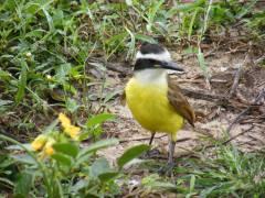 bird pantanal